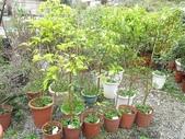 9-5  園藝技術 -- 施肥:104-0227-0  肥料試驗-八寸盆 (1).jpg