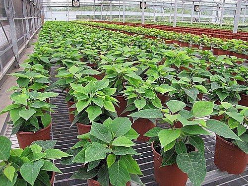 藍山園藝 -8-  花卉產地、農場參觀:海棠園藝 100-0604.jpg