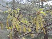 4-5  武陵的植物:栓皮櫟  DSCN1690.JPG