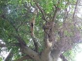 大樹工程-老樹移植-台中水湳列管老樹移植:105-0425 台中水湳列管老樹移植 (16).jpg