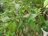 9-5  園藝技術 -- 施肥:104-0227-1  肥料試驗-八寸盆200克 (2).jpg