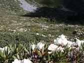 4-6  雪山--五月賞杜鵑:DSCN7742  開滿雪山冰斗的玉山杜鵑