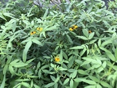 11-18 防蚊植物:芳香萬壽菊- 新豐鄉瑞興村 (2).jpg