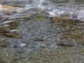 4-5  武陵的秋天:100-1107 櫻花鉤吻鮭繁殖季 (14).j
