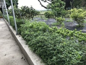 11-18 防蚊植物:芳香萬壽菊- 新豐鄉瑞興村 (1).jpg