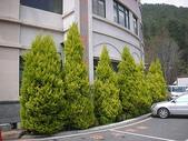 4-5  武陵的植物:香冠柏--武陵 DSCN1518.JPG