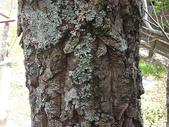 4-5  武陵的植物:栓皮櫟  DSCN1695.JPG