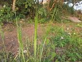 7  藍山園藝:102-0317 藍山野鳥園--麥田 (20).j