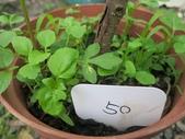 9-5  園藝技術 -- 施肥:104-0227-3  肥料試驗-八寸盆50克 (1).jpg