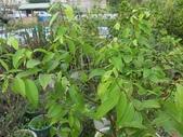 9-5  園藝技術 -- 施肥:104-0227-2  肥料試驗-八寸盆100克 (2).jpg