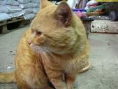7  藍山園藝:藍山店貓--加菲貓  970129-15.JPG