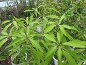 9-5  園藝技術 -- 施肥:104-0227-3  肥料試驗-八寸盆50克 (3).jpg