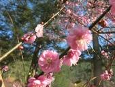 4-5 武陵的春天--武陵梅花 105-0108:2015-0108-1 武陵 (14).jpg