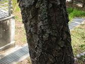 4-5  武陵的植物:栓皮櫟  DSCN1696.JPG