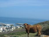 2008四月澎湖春假行:西嶼鄉的黃牛