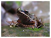 艾莉的生態筆記:斯豪文氏赤蛙