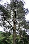無心插柳。南湖山:day1_033_登山口的大樹