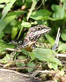 艾莉的生態筆記:黃口攀蜥