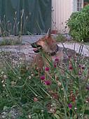 我家的狗 來寶 成長錄:10.2009年7月10日