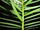 生態-植物:香彬 (10).JPG