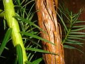 生態-植物:香彬 (7).JPG