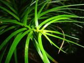 生態-植物:香彬 (5).JPG