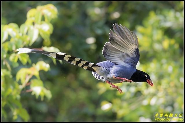 IMG_10.jpg - 三坑自然生態公園‧台灣藍鵲遨遊飛翔