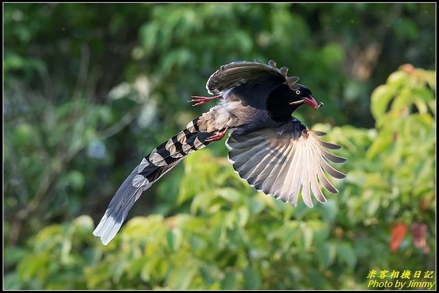 三坑自然生態公園‧台灣藍鵲遨遊飛翔:IMG_12.jpg