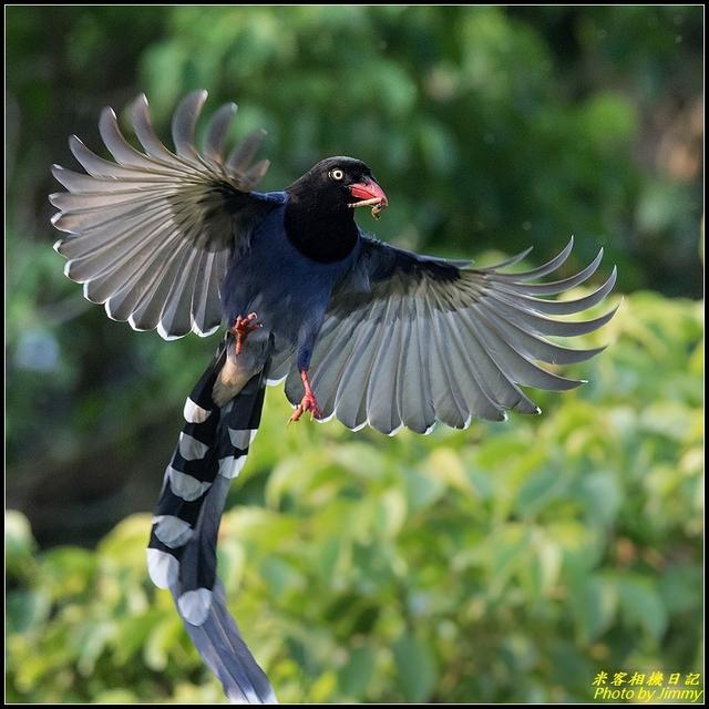 IMG_19.jpg - 三坑自然生態公園‧台灣藍鵲遨遊飛翔