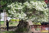 新竹護城河親水公園‧流蘇花:IMG_09.jpg