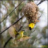 長青之森‧黑頭織布鳥築巢秀:IMG_21.jpg