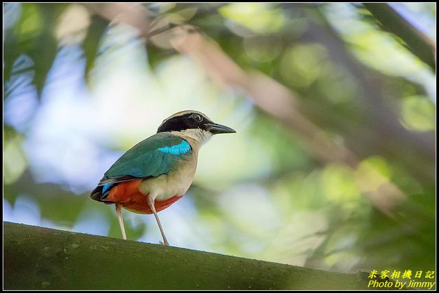 IMG_11.jpg - 大溪河濱公園八色鳥