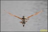 湖底埤棕夜鷺:IMG_13.jpg