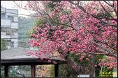 樹林地政事務所八重櫻:IMG_21.jpg