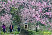 大熊櫻花林昭和櫻:IMG_04.jpg