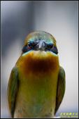 木柵動物園栗喉蜂虎:IMG_15.jpg