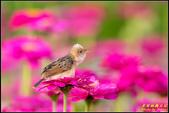 幸福水漾公園扇尾鶯:IMG_06.jpg