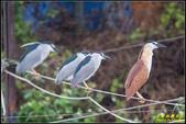 湖底埤棕夜鷺:IMG_07.jpg