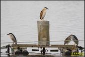 湖底埤棕夜鷺:IMG_08.jpg