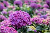 大賞園繡球花:IMG_11.jpg