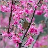 福山櫻花道‧冠羽畫眉花鳥圖:IMG_07.jpg