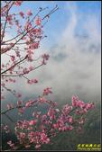 大熊櫻花林昭和櫻:IMG_10.jpg