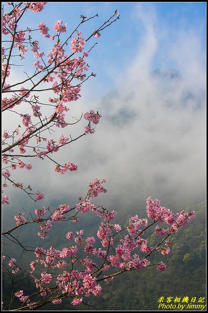 IMG_10.jpg - 大熊櫻花林昭和櫻