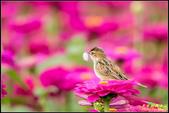 幸福水漾公園扇尾鶯:IMG_17.jpg