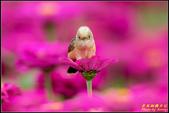 幸福水漾公園扇尾鶯:IMG_20.jpg