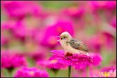 幸福水漾公園扇尾鶯:IMG_21.jpg