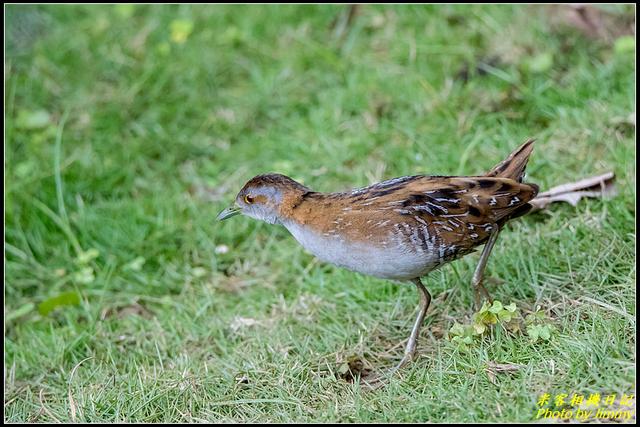 IMG_09.jpg - 野柳稀有鳥種