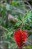 內溝溪綠啄花:IMG_04.jpg