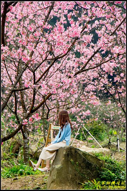 IMG_23.jpg - 大熊櫻花林昭和櫻