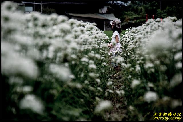 IMG_13.jpg - 大溪韭菜花田